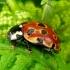 Akiuotoji boružė - Anatis ocellata | Fotografijos autorius : Romas Ferenca | © Macrogamta.lt | Šis tinklapis priklauso bendruomenei kuri domisi makro fotografija ir fotografuoja gyvąjį makro pasaulį.