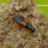 Anchomenus dorsalis - Raudonpetis žvitražygis   Fotografijos autorius : Romas Ferenca   © Macrogamta.lt   Šis tinklapis priklauso bendruomenei kuri domisi makro fotografija ir fotografuoja gyvąjį makro pasaulį.