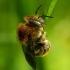 Anthidium [=Trachusa] byssinum - Šilkinė vilnabitė | Fotografijos autorius : Romas Ferenca | © Macrogamta.lt | Šis tinklapis priklauso bendruomenei kuri domisi makro fotografija ir fotografuoja gyvąjį makro pasaulį.