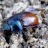 Miškinis mėšlavabalis - Anoploturpes [=Geotrupes] stercorosus | Fotografijos autorius : Romas Ferenca | © Macrogamta.lt | Šis tinklapis priklauso bendruomenei kuri domisi makro fotografija ir fotografuoja gyvąjį makro pasaulį.