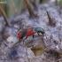 Raštuotasis pūsliavabalis - Anthocomus equestris | Fotografijos autorius : Romas Ferenca | © Macrogamta.lt | Šis tinklapis priklauso bendruomenei kuri domisi makro fotografija ir fotografuoja gyvąjį makro pasaulį.