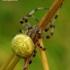 Araneus quadratus - Keturdėmis kryžiuotis | Fotografijos autorius : Romas Ferenca | © Macrogamta.lt | Šis tinklapis priklauso bendruomenei kuri domisi makro fotografija ir fotografuoja gyvąjį makro pasaulį.