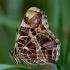 Mažasis dilgėlinukas - Araschnia levana | Fotografijos autorius : Romas Ferenca | © Macrogamta.lt | Šis tinklapis priklauso bendruomenei kuri domisi makro fotografija ir fotografuoja gyvąjį makro pasaulį.