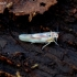 Cikadėlė - Arboridia ribauti | Fotografijos autorius : Romas Ferenca | © Macrogamta.lt | Šis tinklapis priklauso bendruomenei kuri domisi makro fotografija ir fotografuoja gyvąjį makro pasaulį.