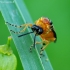Rapsinis pjūklelis - Athalia rosae | Fotografijos autorius : Romas Ferenca | © Macrogamta.lt | Šis tinklapis priklauso bendruomenei kuri domisi makro fotografija ir fotografuoja gyvąjį makro pasaulį.