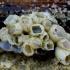 Baltoji jūrų gilė - Amphibalanus improvisus | Fotografijos autorius : Romas Ferenca | © Macrogamta.lt | Šis tinklapis priklauso bendruomenei kuri domisi makro fotografija ir fotografuoja gyvąjį makro pasaulį.