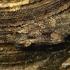Mniotype [=Blepharita] satura - Tamsiarudis vėlyvis | Fotografijos autorius : Romas Ferenca | © Macrogamta.lt | Šis tinklapis priklauso bendruomenei kuri domisi makro fotografija ir fotografuoja gyvąjį makro pasaulį.