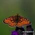 Boloria selene - Pievinis perlinukas | Fotografijos autorius : Romas Ferenca | © Macrogamta.lt | Šis tinklapis priklauso bendruomenei kuri domisi makro fotografija ir fotografuoja gyvąjį makro pasaulį.