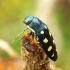 Buprestis octoguttata - Aštuoniataškis blizgiavabalis   Fotografijos autorius : Romas Ferenca   © Macrogamta.lt   Šis tinklapis priklauso bendruomenei kuri domisi makro fotografija ir fotografuoja gyvąjį makro pasaulį.