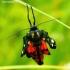 Callimorpha dominula - Puošnioji meškutė | Fotografijos autorius : Romas Ferenca | © Macrogamta.lt | Šis tinklapis priklauso bendruomenei kuri domisi makro fotografija ir fotografuoja gyvąjį makro pasaulį.