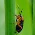 Miglinė žolblakė - Capsus ater | Fotografijos autorius : Romas Ferenca | © Macrogamta.lt | Šis tinklapis priklauso bendruomenei kuri domisi makro fotografija ir fotografuoja gyvąjį makro pasaulį.