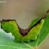 Cerura vinula - Didysis dviuodegis | Fotografijos autorius : Romas Ferenca | © Macrogamta.lt | Šis tinklapis priklauso bendruomenei kuri domisi makro fotografija ir fotografuoja gyvąjį makro pasaulį.