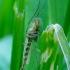 Uodas trūklys - Chironomus sp. ? | Fotografijos autorius : Romas Ferenca | © Macrogamta.lt | Šis tinklapis priklauso bendruomenei kuri domisi makro fotografija ir fotografuoja gyvąjį makro pasaulį.