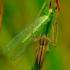 Tibellus oblongus - Ilgasis laibavoris | Fotografijos autorius : Romas Ferenca | © Macrogamta.lt | Šis tinklapis priklauso bendruomenei kuri domisi makro fotografija ir fotografuoja gyvąjį makro pasaulį.