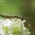 Žaliasis laibavabalis - Chrysanthia geniculata   Fotografijos autorius : Romas Ferenca   © Macrogamta.lt   Šis tinklapis priklauso bendruomenei kuri domisi makro fotografija ir fotografuoja gyvąjį makro pasaulį.