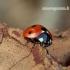 Coccinella septempunctata - Septyntaškė boružė | Fotografijos autorius : Romas Ferenca | © Macrogamta.lt | Šis tinklapis priklauso bendruomenei kuri domisi makro fotografija ir fotografuoja gyvąjį makro pasaulį.