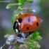 Septyntaškė boružė - Coccinella septempunctata | Fotografijos autorius : Romas Ferenca | © Macrogamta.lt | Šis tinklapis priklauso bendruomenei kuri domisi makro fotografija ir fotografuoja gyvąjį makro pasaulį.