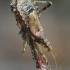 Himacerus apterus - Žiaurioji skerdblakė   Fotografijos autorius : Romas Ferenca   © Macrogamta.lt   Šis tinklapis priklauso bendruomenei kuri domisi makro fotografija ir fotografuoja gyvąjį makro pasaulį.