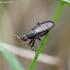 Coremacera marginata - Sraigžudė | Fotografijos autorius : Romas Ferenca | © Macrogamta.lt | Šis tinklapis priklauso bendruomenei kuri domisi makro fotografija ir fotografuoja gyvąjį makro pasaulį.