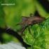 Coreus marginatus - Arkliarūgštinė kampuotblakė | Fotografijos autorius : Romas Ferenca | © Macrogamta.lt | Šis tinklapis priklauso bendruomenei kuri domisi makro fotografija ir fotografuoja gyvąjį makro pasaulį.