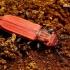 Cucujus cinnaberinus - Purpurinis plokščiavabalis | Fotografijos autorius : Romas Ferenca | © Macrogamta.lt | Šis tinklapis priklauso bendruomenei kuri domisi makro fotografija ir fotografuoja gyvąjį makro pasaulį.