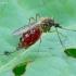 Tikrasis uodas - Aedes sp. | Fotografijos autorius : Romas Ferenca | © Macrogamta.lt | Šis tinklapis priklauso bendruomenei kuri domisi makro fotografija ir fotografuoja gyvąjį makro pasaulį.