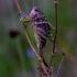 Margasis žiogas-Decticus verrucivorus | Fotografijos autorius : Romas Ferenca | © Macrogamta.lt | Šis tinklapis priklauso bendruomenei kuri domisi makro fotografija ir fotografuoja gyvąjį makro pasaulį.