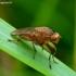 Musė - Suillia affinis | Fotografijos autorius : Romas Ferenca | © Macrogamta.lt | Šis tinklapis priklauso bendruomenei kuri domisi makro fotografija ir fotografuoja gyvąjį makro pasaulį.