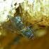 Tikramusė - Phaonia sp. | Fotografijos autorius : Romas Ferenca | © Macrogamta.lt | Šis tinklapis priklauso bendruomenei kuri domisi makro fotografija ir fotografuoja gyvąjį makro pasaulį.