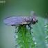 Minamusė - Agromyzidae    Fotografijos autorius : Romas Ferenca   © Macrogamta.lt   Šis tinklapis priklauso bendruomenei kuri domisi makro fotografija ir fotografuoja gyvąjį makro pasaulį.