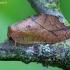 Lapasparnis - Drepanopteryx phalaenoides | Fotografijos autorius : Romas Ferenca | © Macrogamta.lt | Šis tinklapis priklauso bendruomenei kuri domisi makro fotografija ir fotografuoja gyvąjį makro pasaulį.