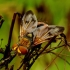 Ectophasia crassipennis - Dygliamusė | Fotografijos autorius : Romas Ferenca | © Macrogamta.lt | Šis tinklapis priklauso bendruomenei kuri domisi makro fotografija ir fotografuoja gyvąjį makro pasaulį.