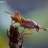 Sepedon spinipes - Sraigžudė | Fotografijos autorius : Romas Ferenca | © Macrogamta.lt | Šis tinklapis priklauso bendruomenei kuri domisi makro fotografija ir fotografuoja gyvąjį makro pasaulį.