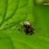 Enoplognatha ovata - Paprastasis pinkliavoris | Fotografijos autorius : Romas Ferenca | © Macrogamta.lt | Šis tinklapis priklauso bendruomenei kuri domisi makro fotografija ir fotografuoja gyvąjį makro pasaulį.