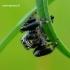 Evarcha arcuata - Vaivorykštinis musėgaudis   Fotografijos autorius : Romas Ferenca   © Macrogamta.lt   Šis tinklapis priklauso bendruomenei kuri domisi makro fotografija ir fotografuoja gyvąjį makro pasaulį.