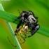 Vaivorykštinis musėgaudis - Evarcha arcuata | Fotografijos autorius : Romas Ferenca | © Macrogamta.lt | Šis tinklapis priklauso bendruomenei kuri domisi makro fotografija ir fotografuoja gyvąjį makro pasaulį.