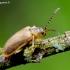 Guobinis aksominukas - Galerucella lineola | Fotografijos autorius : Romas Ferenca | © Macrogamta.lt | Šis tinklapis priklauso bendruomenei kuri domisi makro fotografija ir fotografuoja gyvąjį makro pasaulį.