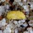 Guobinis aksominukas - Galerucella lineola, lėliukė | Fotografijos autorius : Romas Ferenca | © Macrogamta.lt | Šis tinklapis priklauso bendruomenei kuri domisi makro fotografija ir fotografuoja gyvąjį makro pasaulį.