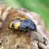 Žvilgvabalis - Glischrochilus grandis | Fotografijos autorius : Romas Ferenca | © Macrogamta.lt | Šis tinklapis priklauso bendruomenei kuri domisi makro fotografija ir fotografuoja gyvąjį makro pasaulį.