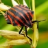Juostelinė skydblakė - Graphosoma italicum | Fotografijos autorius : Romas Ferenca | © Macrogamta.lt | Šis tinklapis priklauso bendruomenei kuri domisi makro fotografija ir fotografuoja gyvąjį makro pasaulį.