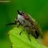 Žabalis - Haematopota pluvialis | Fotografijos autorius : Romas Ferenca | © Macrogamta.lt | Šis tinklapis priklauso bendruomenei kuri domisi makro fotografija ir fotografuoja gyvąjį makro pasaulį.