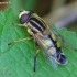 Helophilus trivittatus - Žiedmusė | Fotografijos autorius : Romas Ferenca | © Macrogamta.lt | Šis tinklapis priklauso bendruomenei kuri domisi makro fotografija ir fotografuoja gyvąjį makro pasaulį.