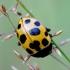 Dilgėlinė boružė - Hippodamia notata | Fotografijos autorius : Romas Ferenca | © Macrogamta.lt | Šis tinklapis priklauso bendruomenei kuri domisi makro fotografija ir fotografuoja gyvąjį makro pasaulį.