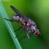 Hylemya nigrimana - Žiedenė | Fotografijos autorius : Romas Ferenca | © Macrogamta.lt | Šis tinklapis priklauso bendruomenei kuri domisi makro fotografija ir fotografuoja gyvąjį makro pasaulį.