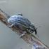 Gvazdikinis lapinukas - Hypera arator  | Fotografijos autorius : Romas Ferenca | © Macrogamta.lt | Šis tinklapis priklauso bendruomenei kuri domisi makro fotografija ir fotografuoja gyvąjį makro pasaulį.
