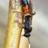Ichneumon stramentarius - Vytis | Fotografijos autorius : Romas Ferenca | © Macrogamta.lt | Šis tinklapis priklauso bendruomenei kuri domisi makro fotografija ir fotografuoja gyvąjį makro pasaulį.