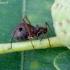 Margasis ąžuolinis amaras - Lachnus roboris   Fotografijos autorius : Romas Ferenca   © Macrogamta.lt   Šis tinklapis priklauso bendruomenei kuri domisi makro fotografija ir fotografuoja gyvąjį makro pasaulį.
