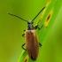 Lagria hirta - Paprastasis gauravabalis | Fotografijos autorius : Romas Ferenca | © Macrogamta.lt | Šis tinklapis priklauso bendruomenei kuri domisi makro fotografija ir fotografuoja gyvąjį makro pasaulį.