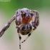 Pleištadėmis žnypliavoris - Larinioides patagiatus | Fotografijos autorius : Romas Ferenca | © Macrogamta.lt | Šis tinklapis priklauso bendruomenei kuri domisi makro fotografija ir fotografuoja gyvąjį makro pasaulį.