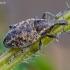 Straubliukas - Lepyrus capucinus | Fotografijos autorius : Romas Ferenca | © Macrogamta.lt | Šis tinklapis priklauso bendruomenei kuri domisi makro fotografija ir fotografuoja gyvąjį makro pasaulį.